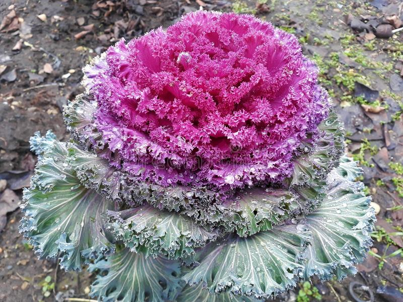 Dekoracyjni kapusta kwiaty obraz royalty free