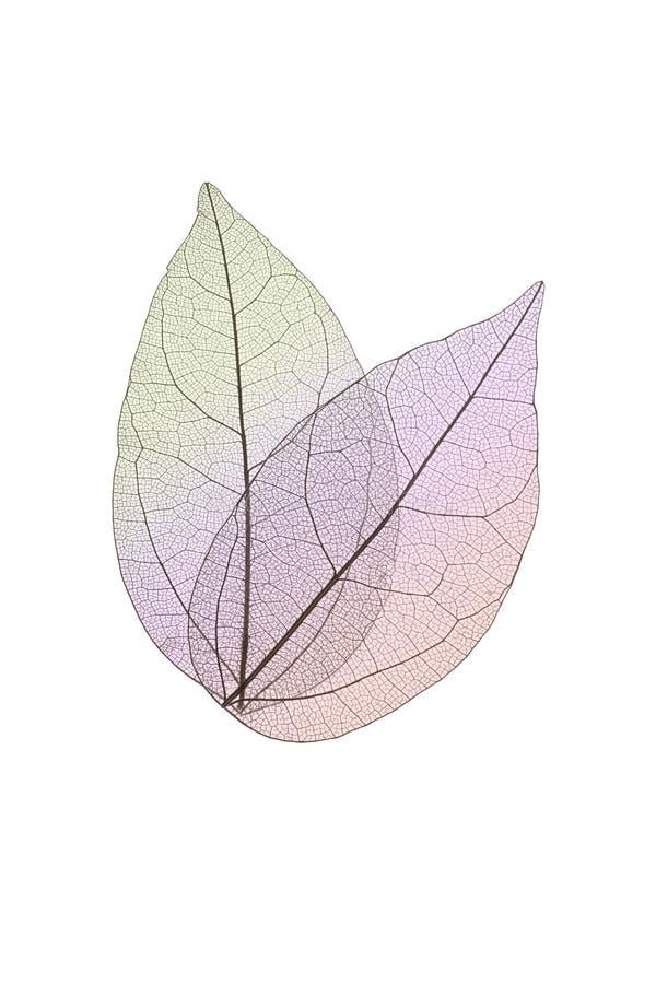 Dekoracyjni kośców liście odizolowywający na bielu obrazy royalty free