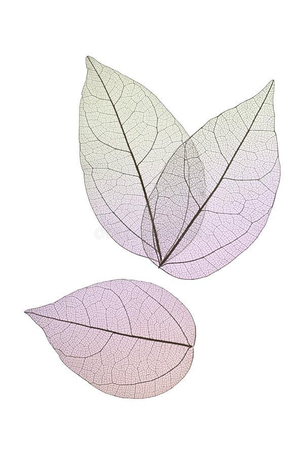 Dekoracyjni kośców liście odizolowywający na bielu obraz stock