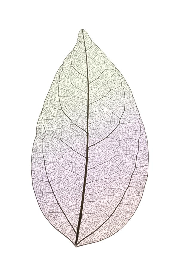 Dekoracyjni kośców liście odizolowywający na bielu zdjęcia royalty free