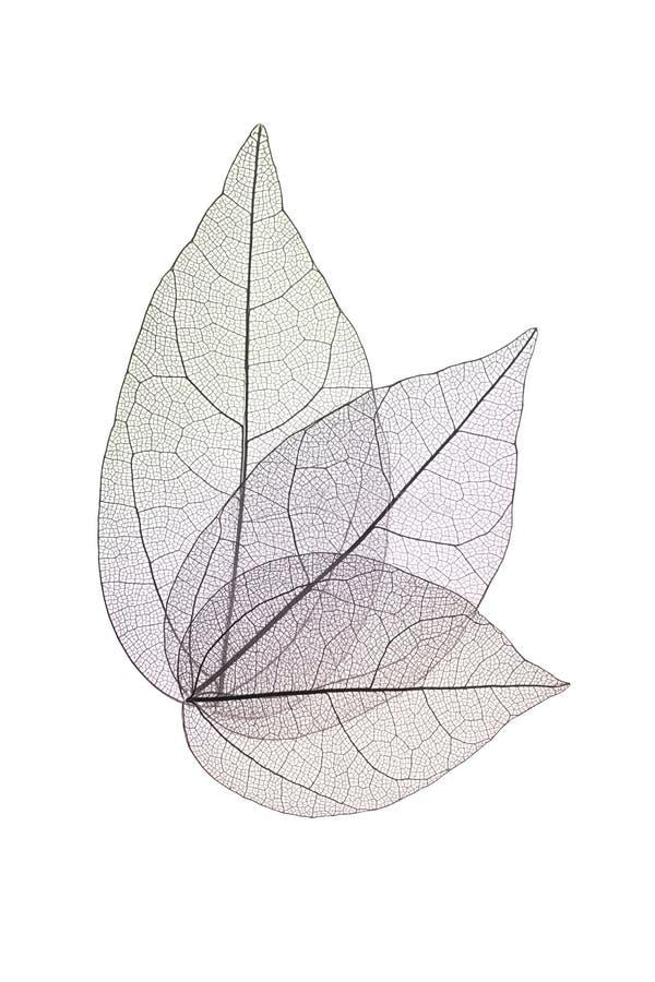 Dekoracyjni kośców liście odizolowywający na bielu fotografia royalty free