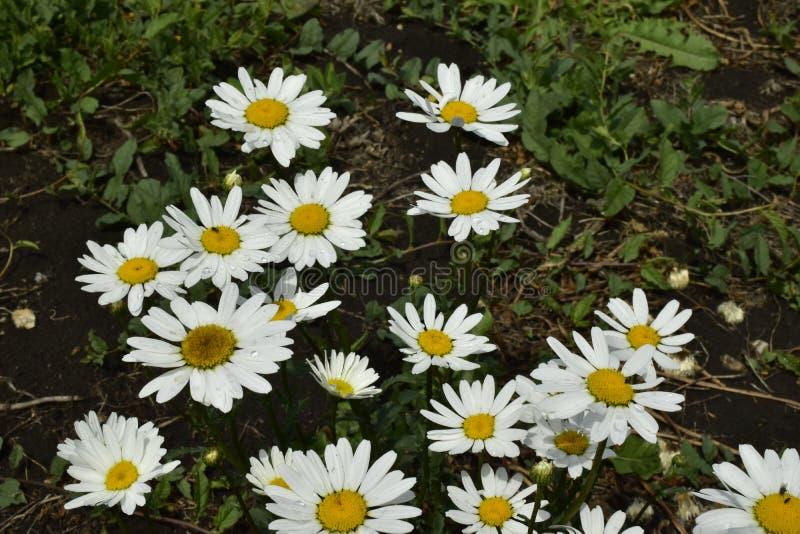 Dekoracyjni ogrodowi kwiaty w lato ogródzie fotografia royalty free