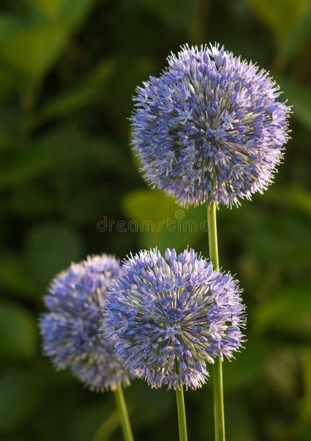 Dekoracyjny łęk kwitnie (allium) obraz stock