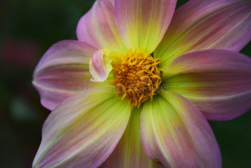 Dekoracyjny światło - purpurowy dalia kwiat Georgina z Żółtym sercem zdjęcia royalty free