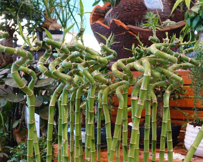 Dekoracyjny bambus wyginał się w spiralę Sprzedaż ogrodowe rośliny zdjęcia royalty free