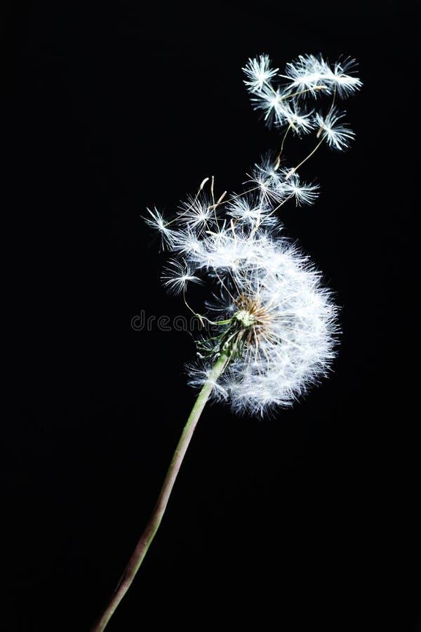 dekoracyjny dandelion latanie w wiatrze zdjęcia royalty free