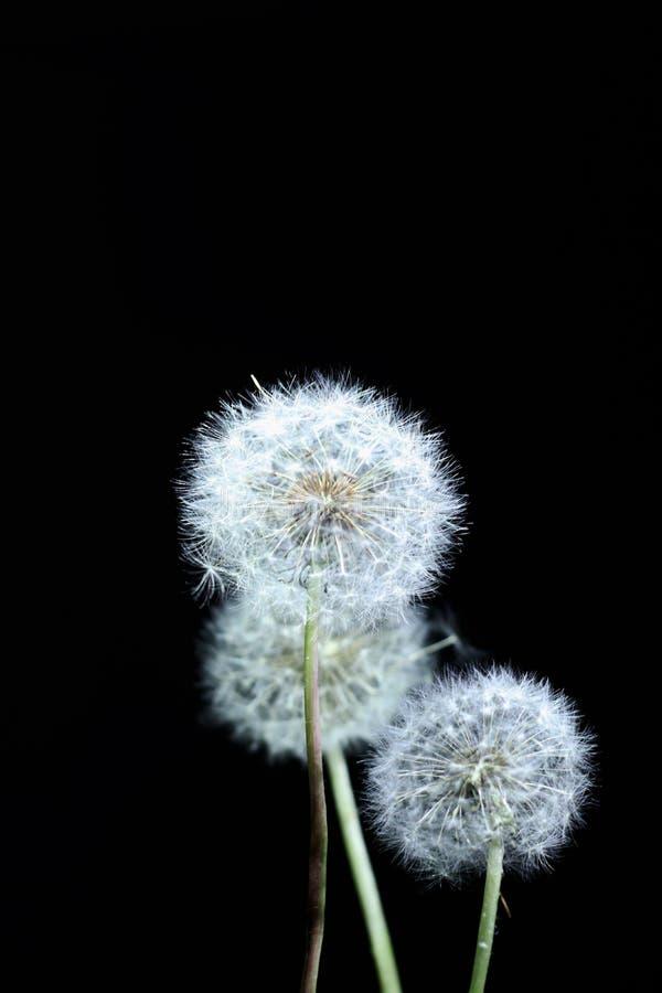 dekoracyjny dandelion latanie w wiatrze fotografia stock