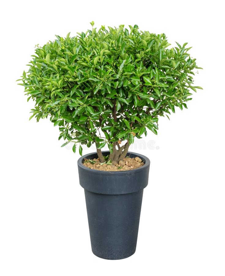 Dekoracyjny drzewo w garnku zdjęcia royalty free