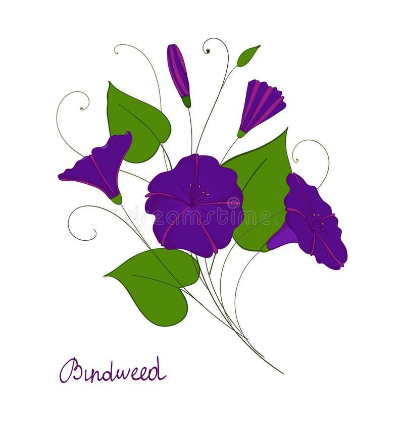 Dekoracyjny elementu powoju bukiet błękita lub purpur kwiatów bindweed odosobniona chwała royalty ilustracja