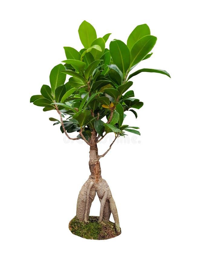 Dekoracyjny ficus ginseng drzewo na białym tle obraz royalty free