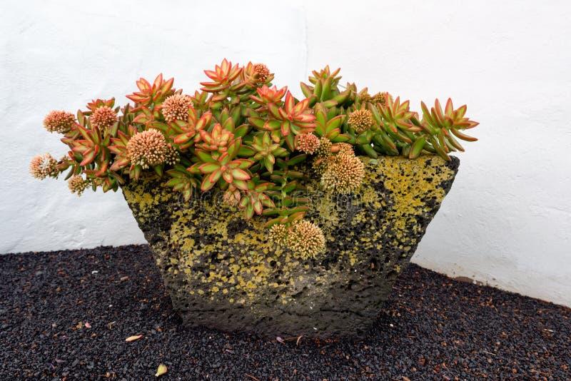 Dekoracyjny Houseleek w flowerpot zdjęcia royalty free