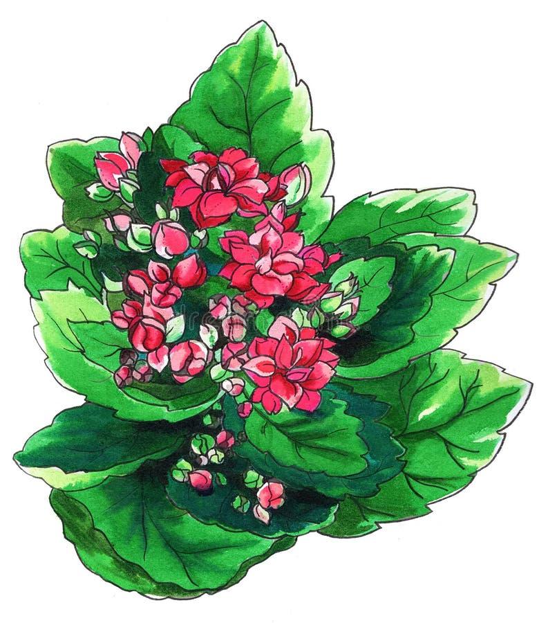 Dekoracyjny różowy Kalanchoe kaktus w okwitnięciu ilustracja wektor