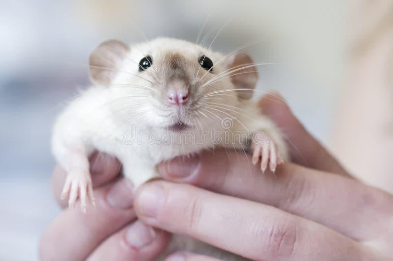 Dekoracyjny Syjamski szczur w r?kach kobieta obraz stock