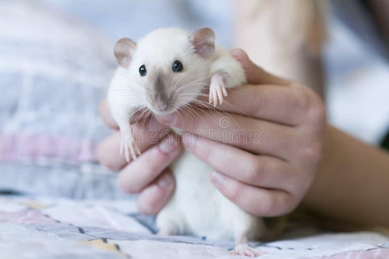 Dekoracyjny Syjamski szczur w r?kach kobieta obraz royalty free
