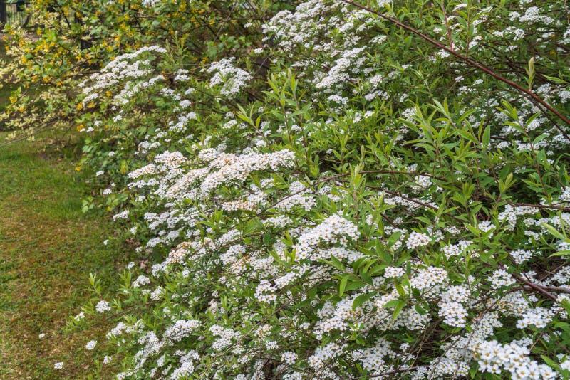 Dekoratīvs krūms ar daudziem, daudziem baltiem ziediņiem royalty free stock image