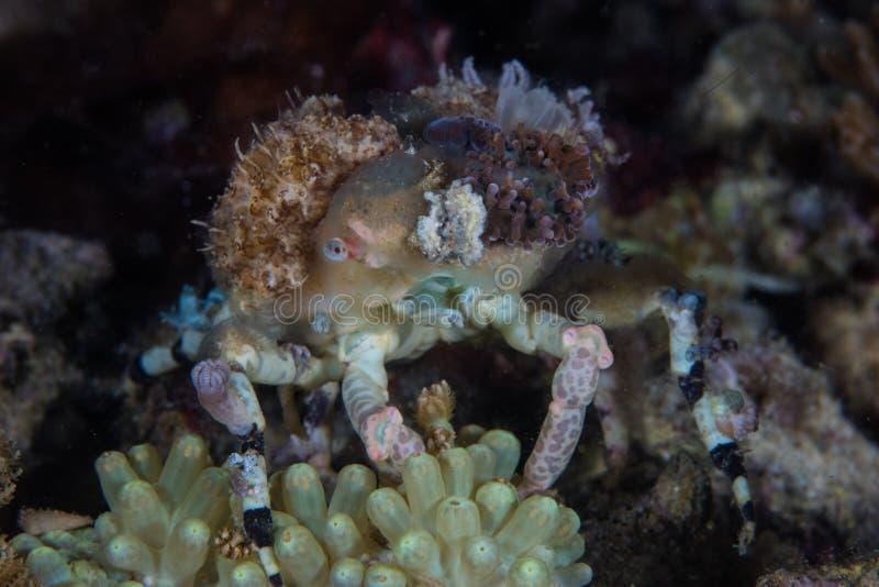 Dekorateur-Krabbe auf Coral Reef in Indonesien lizenzfreie stockfotos