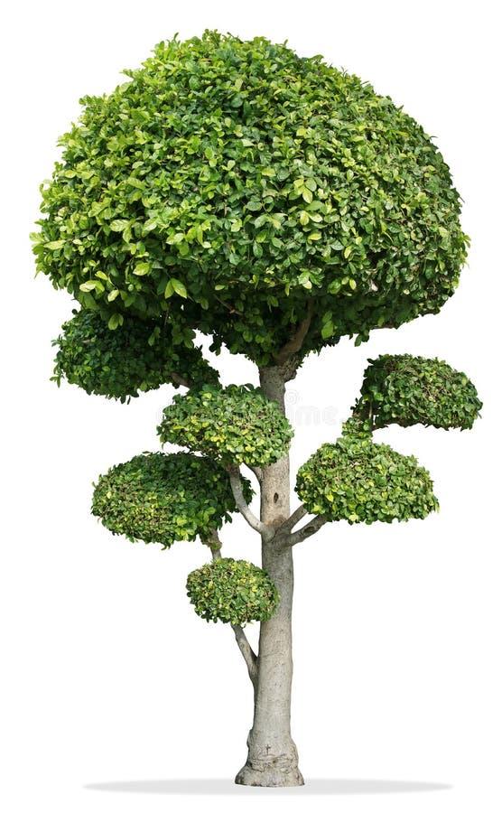 Dekorationsbaum, Zahnbürstenbaumzwerg auf lokalisiertem Weiß stockfoto