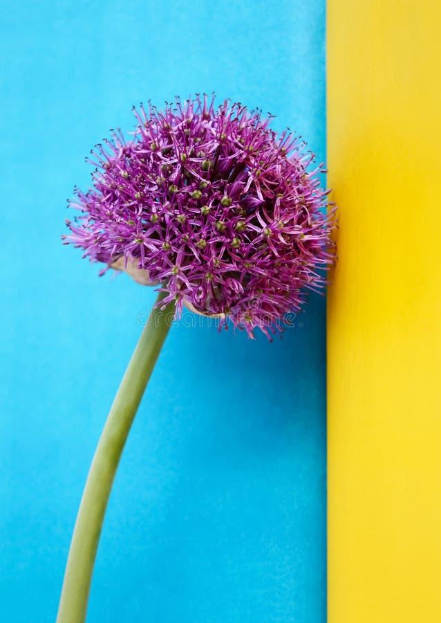 Dekorativ allium för blomning på en kulör bakgrund royaltyfri foto