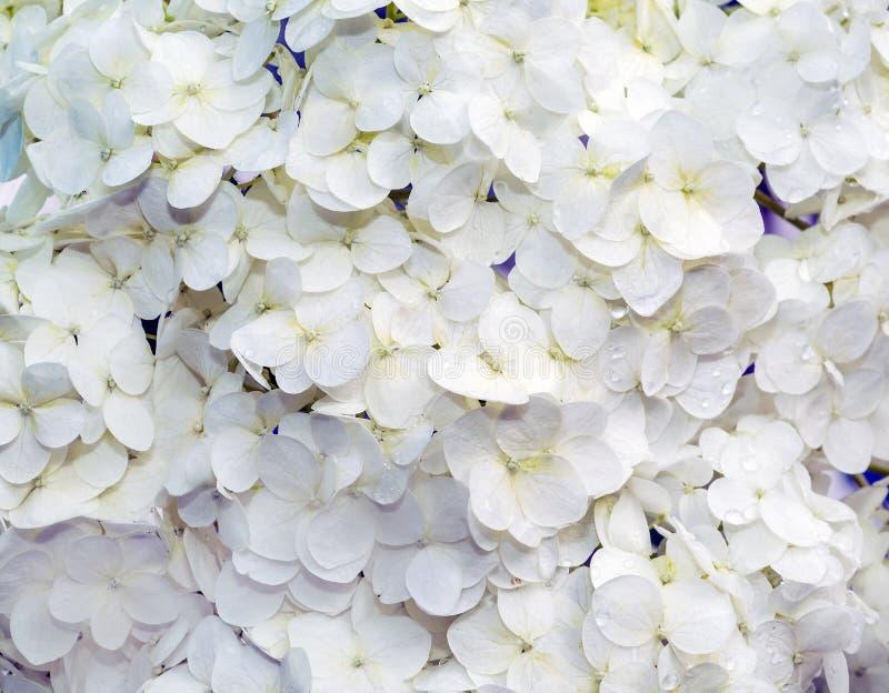 Dekorativ blommaHortensia arkivfoton
