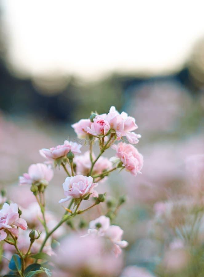 Dekorativ delikat ros för trädgård i trädgården arkivbilder