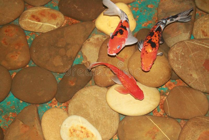 dekorativ fisk royaltyfri fotografi