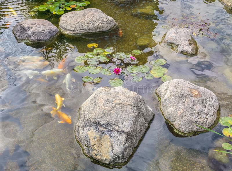 Dekorativ fisk i dammet royaltyfri bild