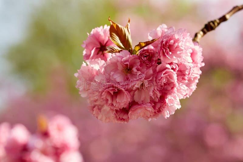 Dekorativ körsbärsröd blomning i våren 2018 royaltyfria bilder