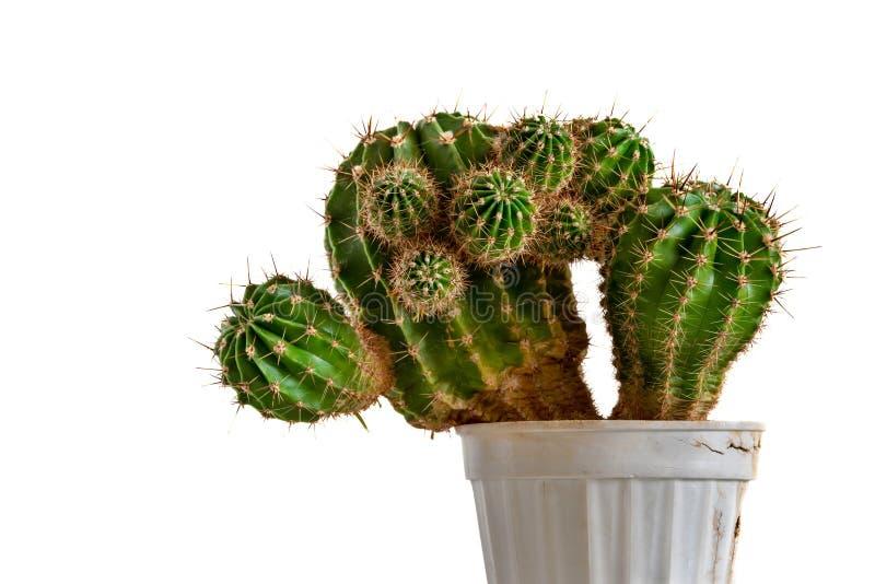 Dekorativ kaktus p? en vit bakgrund royaltyfri bild