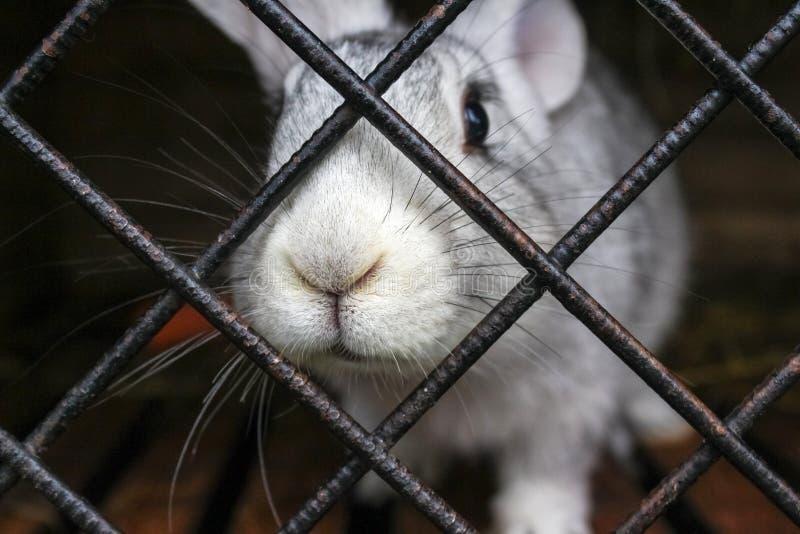 Dekorativ kaninnärbild i bur på den djura lantgården Tysta ned klibbar ut ur buren royaltyfri fotografi