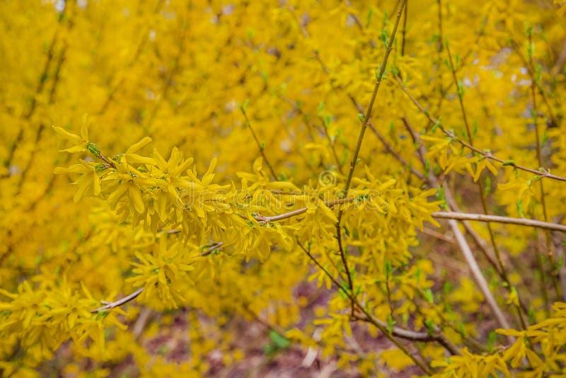 Dekorativ lövfällande buske för forsythiabuske av trädgårdursprunget fotografering för bildbyråer