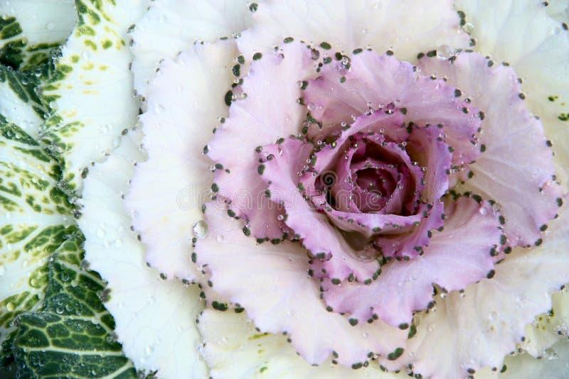 Dekorativ purpurfärgad grönkål eller kål och daggdroppe arkivfoton