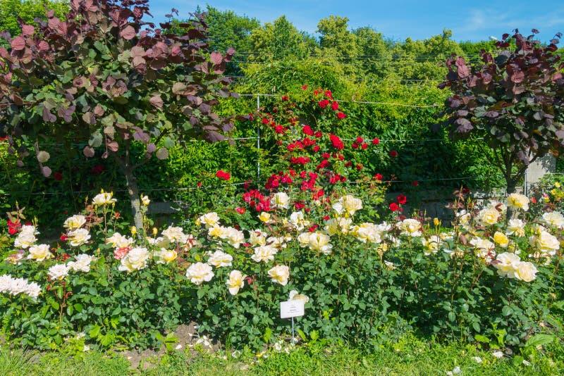 Dekorativ rabatt med ett enormt nummer av vita och röda rosor såväl som annan växter fotografering för bildbyråer