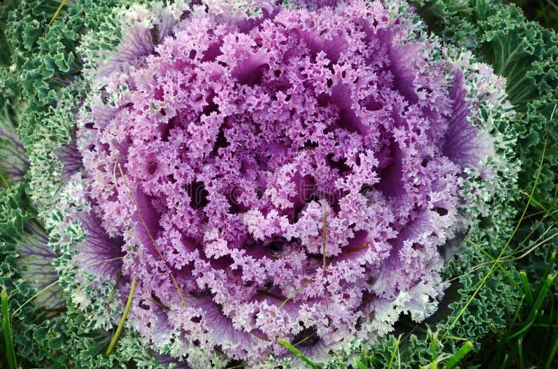 Dekorativ snäll Brassicaoleracea för rosa, grön vit kål royaltyfri foto
