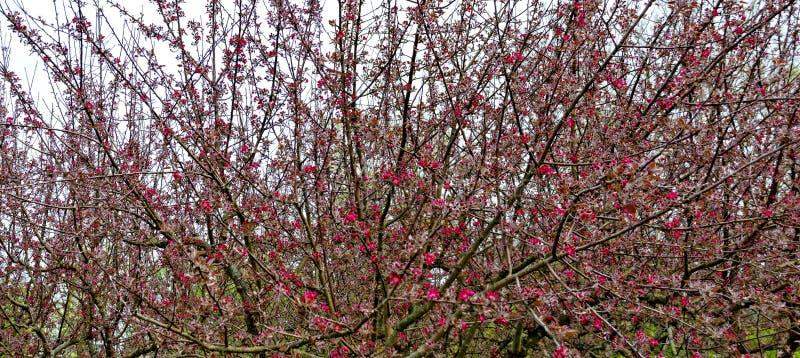 Dekorativa äppleträd royaltyfri fotografi