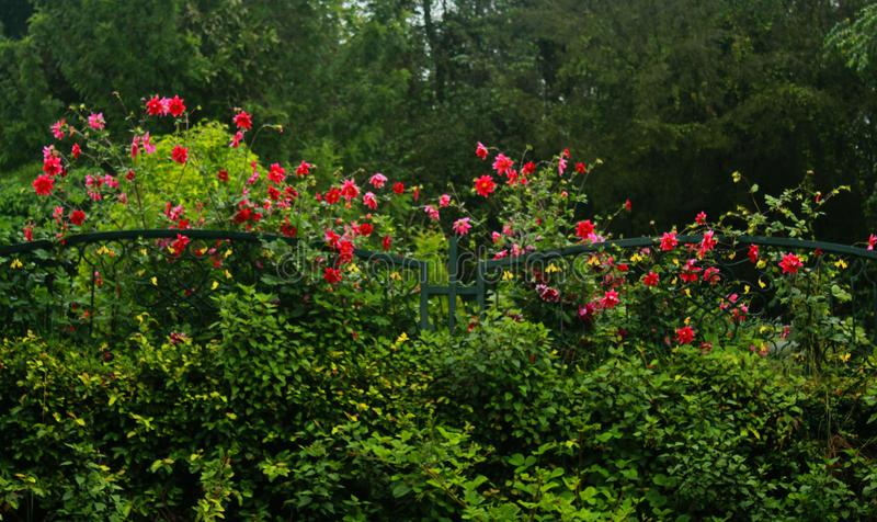 Dekorativa blommor på ottan i kodaikanal arkivfoto