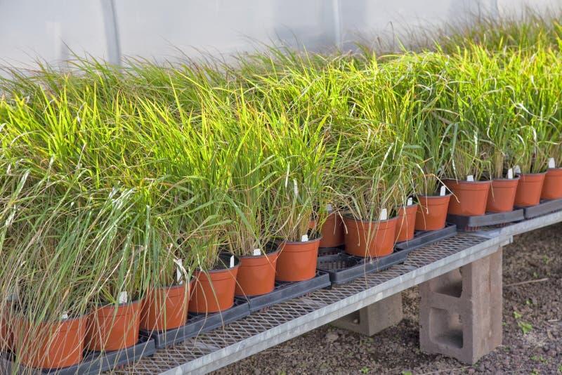 Dekorativa gräs arkivbild