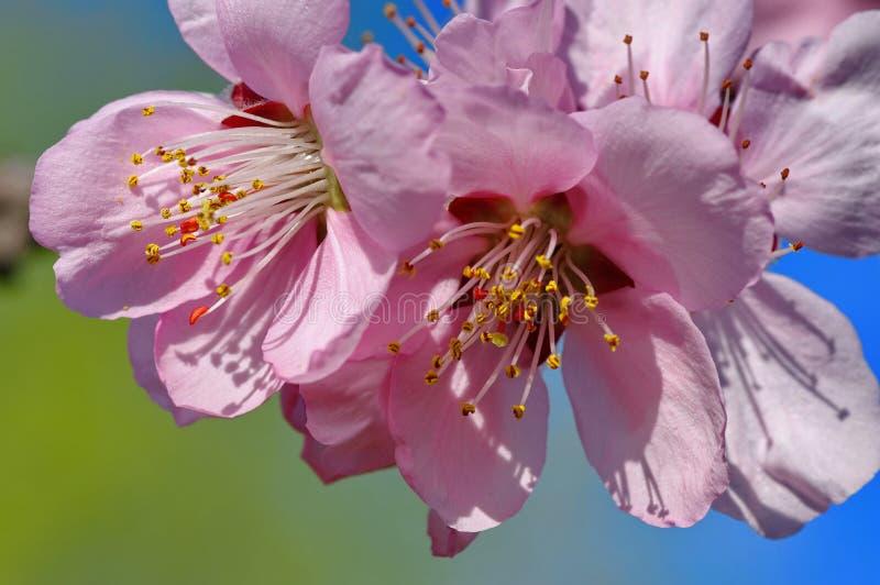Dekorativa körsbärsröda blomningar royaltyfri bild