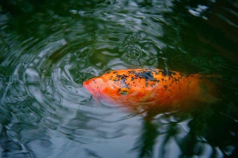 Dekorativa Koi Fish royaltyfri fotografi