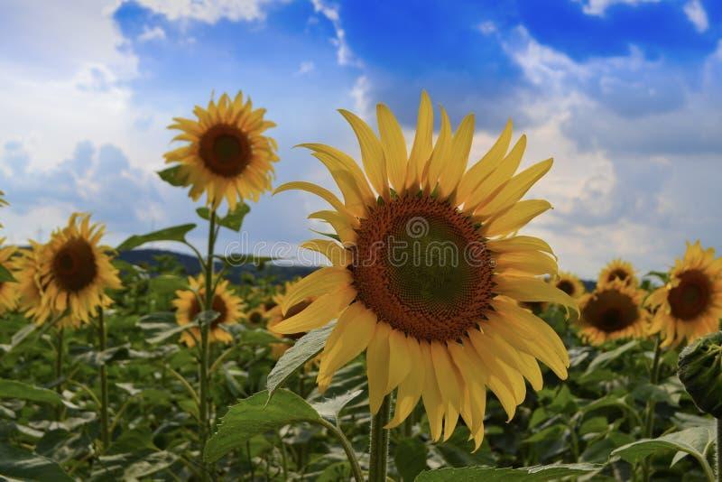 Dekorativa solrosor i fältet med härliga moln och blå himmel royaltyfria bilder