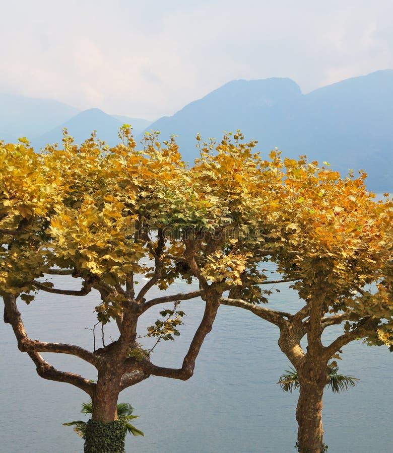 Dekorativa trees med gula leaves arkivfoton