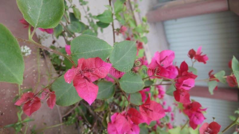 Dekorativa vinrankor för bougainvillea, buskar, blommor royaltyfria foton