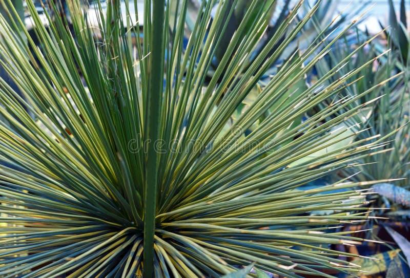 Dekorative Agavenanlage im botanischen Garten der Stadt stockbild
