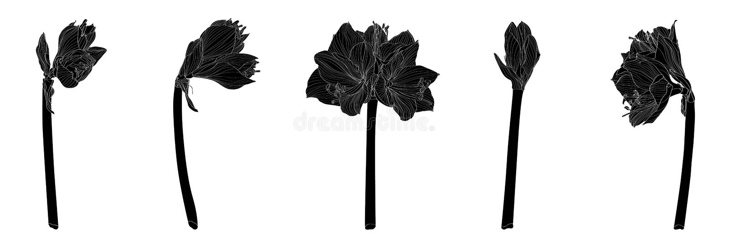 Dekorative Amaryllisschwarzlinie Niederlassungsblumen Satz, Gestaltungselemente stock abbildung