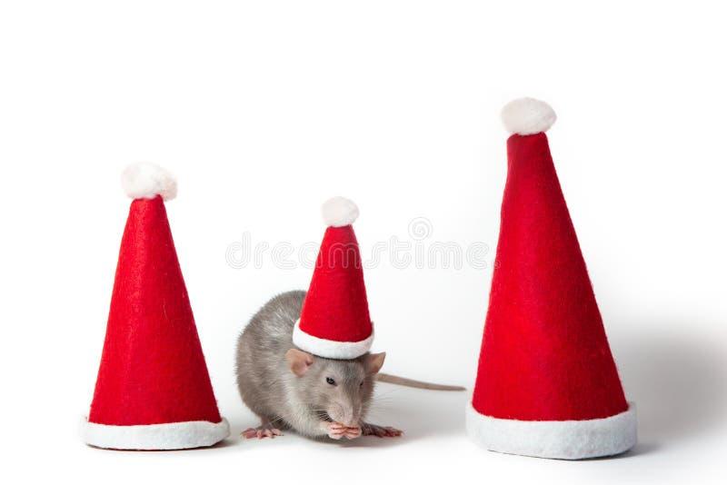 Dekorative Dumbo-Ratte zwischen Santa-Hüten auf weißem Hintergrund isoliert. Jahr der Ratte. Chinesisches Neujahr lizenzfreie stockfotografie