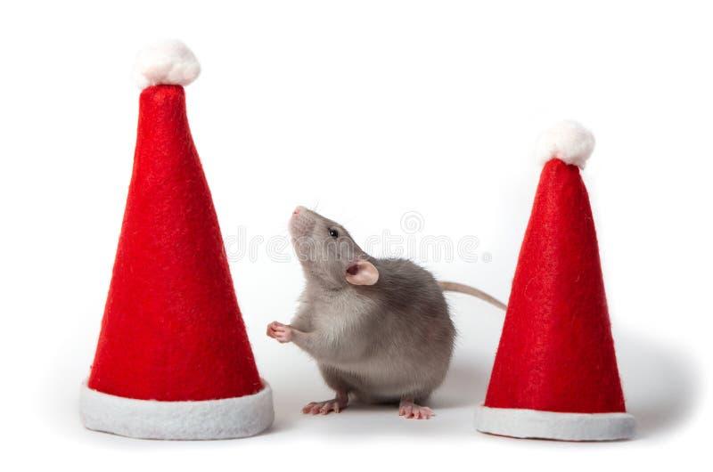 Dekorative Dumbo-Ratte zwischen Santa-Hüten auf weißem Hintergrund isoliert. Jahr der Ratte. Chinesisches Neujahr. Charmantes Ha stockbilder