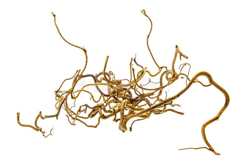 Dekorative Niederlassung der Korkenzieherhaselnuß lizenzfreie stockfotos