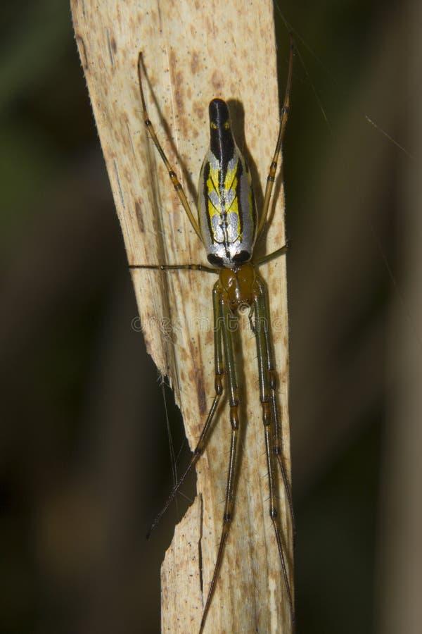 Dekorative silberne Kugel-Spinne (Leucauge-decorata) lizenzfreies stockfoto