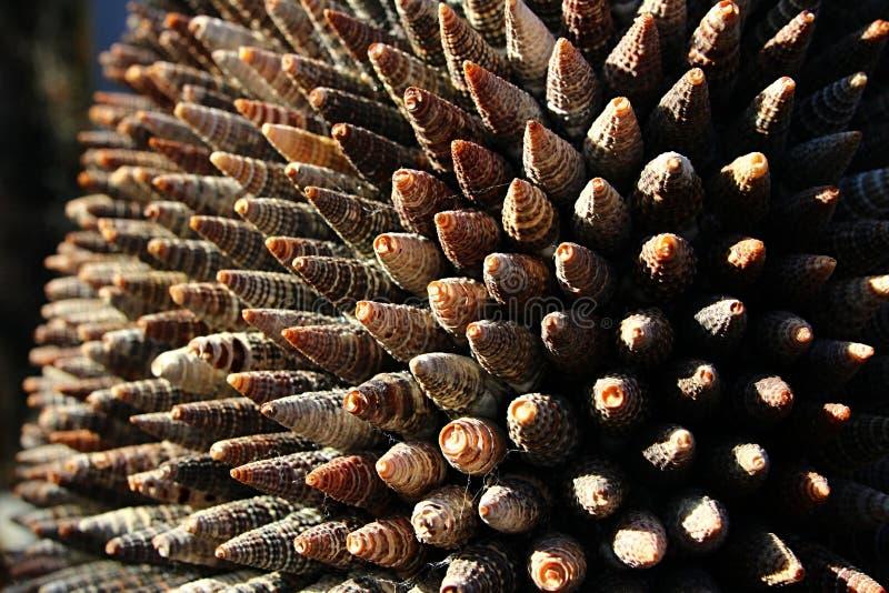 Dekorative Struktur gemacht von den konischen Muscheln von Seeschnecken von Turrid-Familie, Nachmittagssonnenschein stockbilder