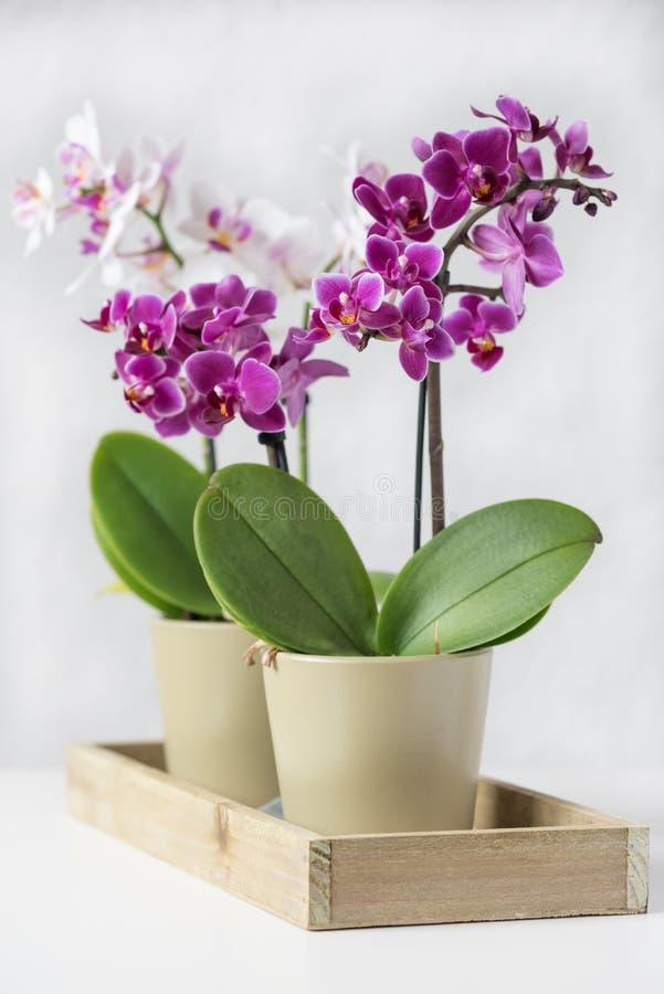 Dekorative violette und weiße Orchideen in den grünen Töpfen lizenzfreie stockfotografie