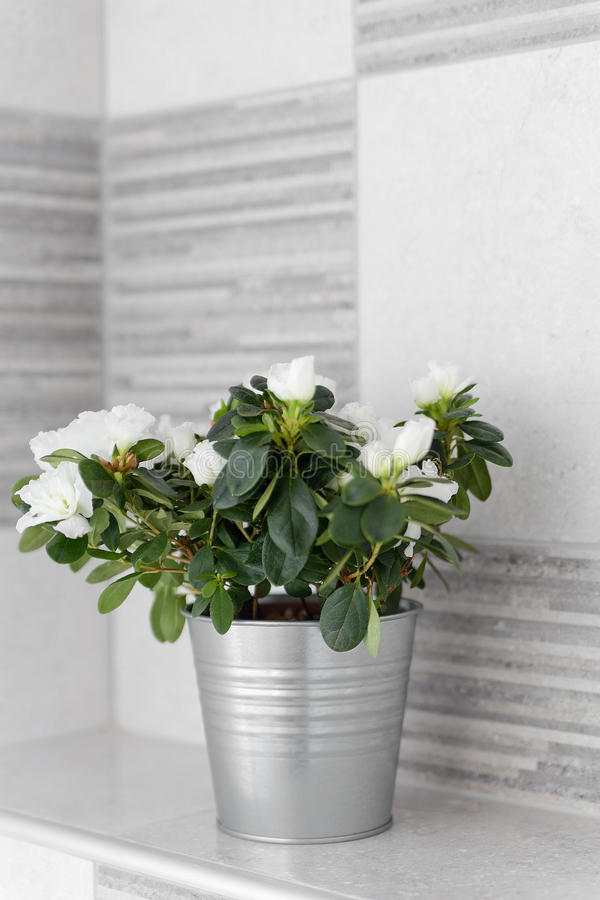 Dekorative Zimmerpflanze in einem Metalllicht Gray Bucket stockbild
